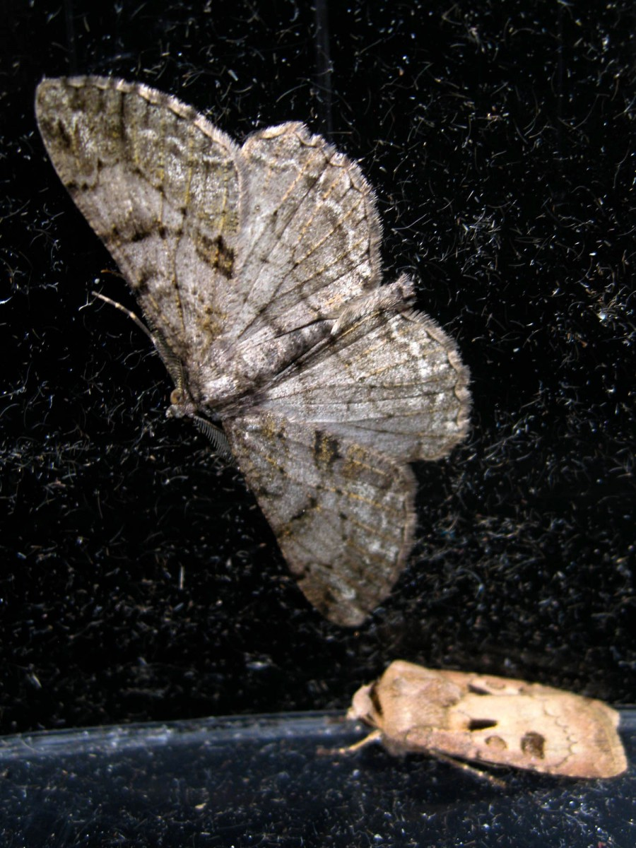 The Willow Beauty (Peribatodes rhomboidaria) and Heart & Dart (Agrotis exclamationis)