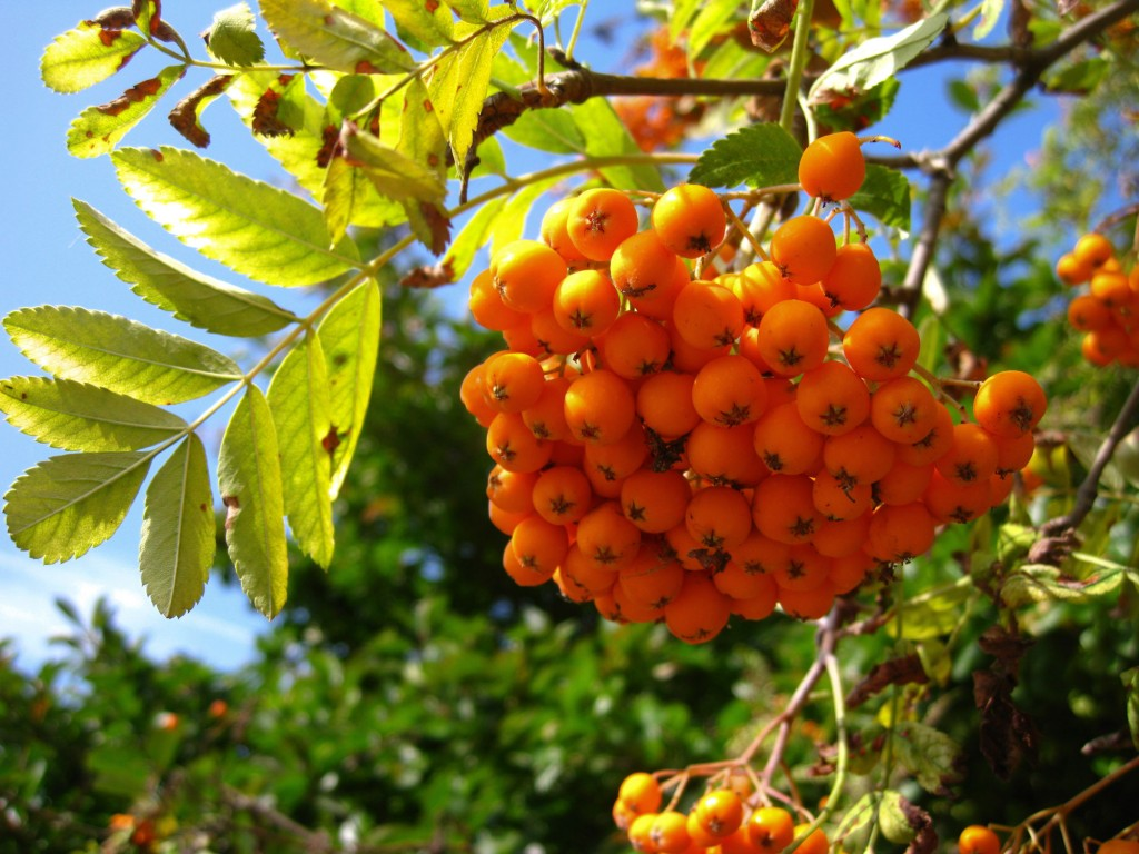 Bright orange rowan berries.