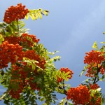 Clusters of rowan berries.