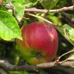 Apples can also be found across the farm.