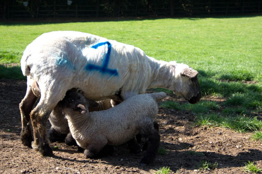 Bonnie reunited with her twin lambs.