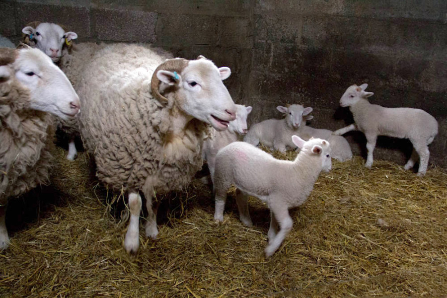 Little lambs aren't the best at waiting for mum's turn!
