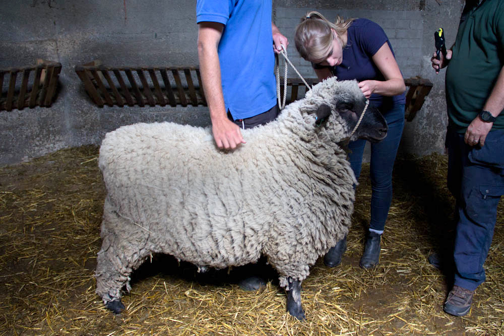 Bertie the Oxford Down ram, one of our largest sheep!