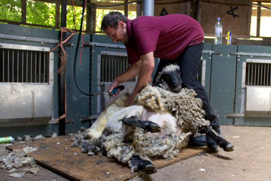 Despite this being his first shear, he was quite relaxed on the shearing boards.