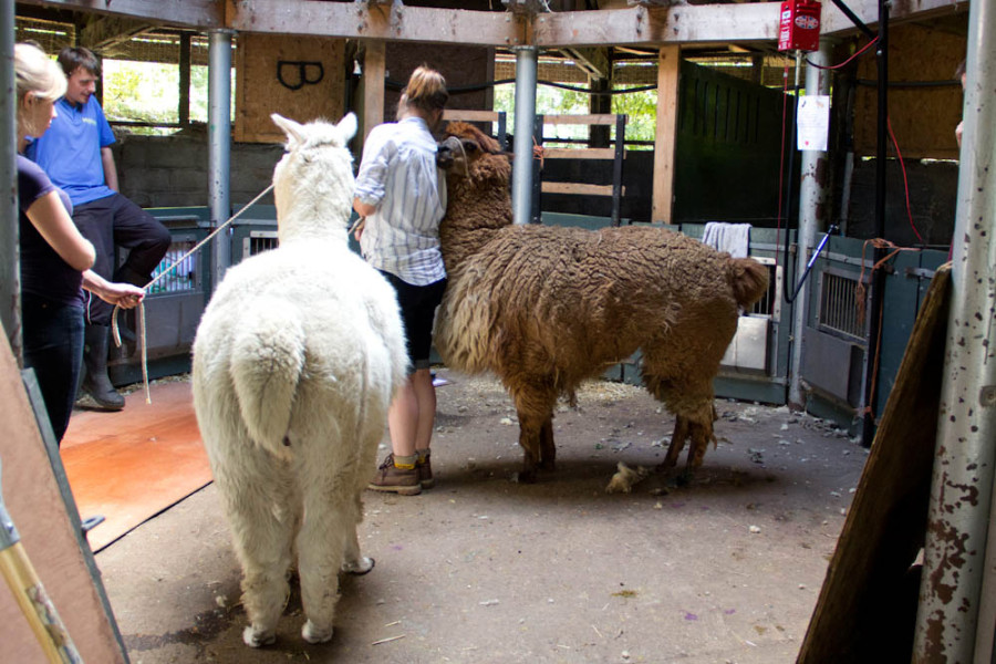 Our alpacas, Claude and Columbus looking fluffy before shearing.