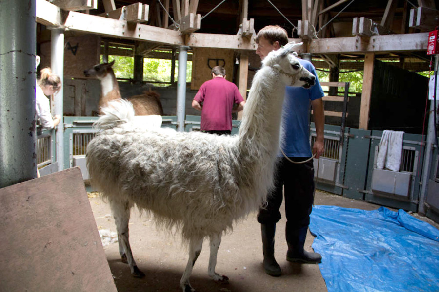 We also sheared our three llamas this year.