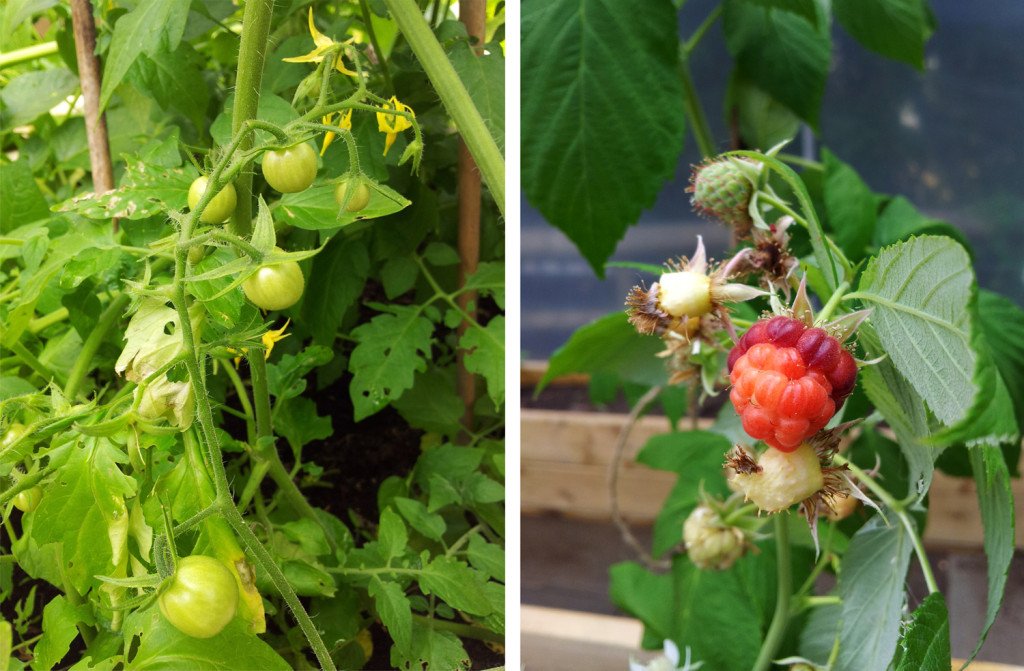 Ripening tomatoes and raspberries.