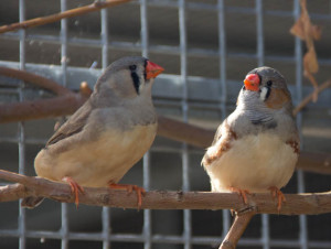 A female zebra finch on the left and male zebra finch on the right.