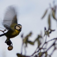A blue tit takes flight.