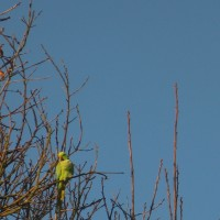 The ring-necked parakeet is one of two parrot species that visit the farm.