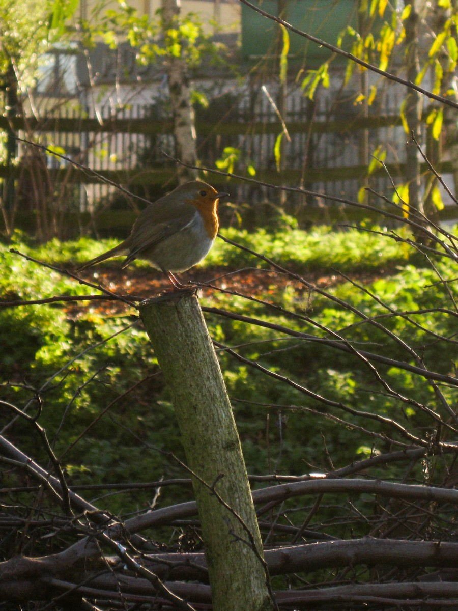 Robins can be seen along our hedges.