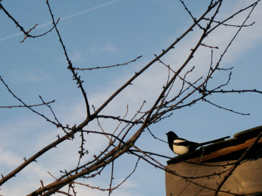 Magpies have beautiful irridescent feathers.