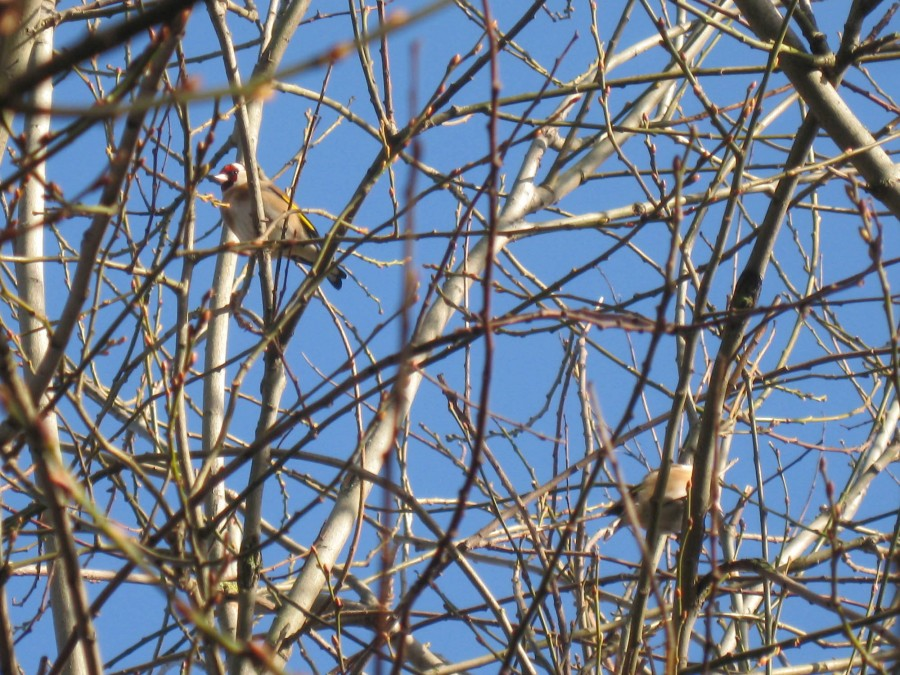 You can find flocks of goldfinches foraging in the trees.