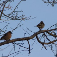 A pair of chaffinches.