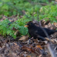 Blackbirds search in the leaf litter for their prey.