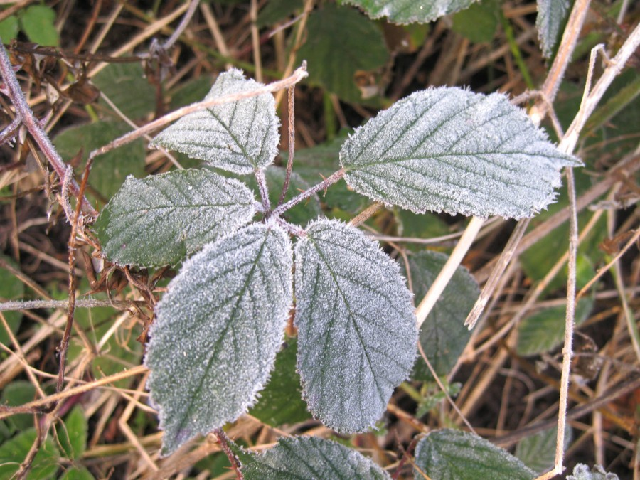 Even brambles look beautiful in frost.