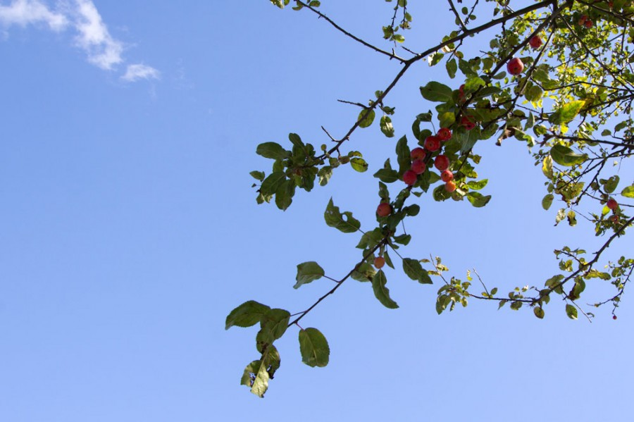 Tiny crabapples can be found throughout the farm.