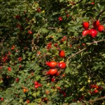 Roses are filled with bright rose hips.