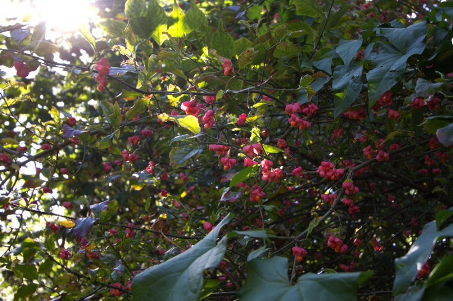 Bright coloured spindle fruit.