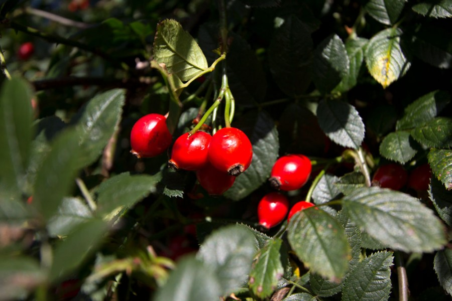 Another variety of rose hips.