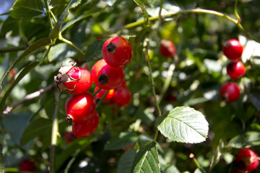 Rose hips dominate field margins in a variety of shapes, sizes and colours.