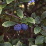 Sloe berries, the fruit of blackthorn.