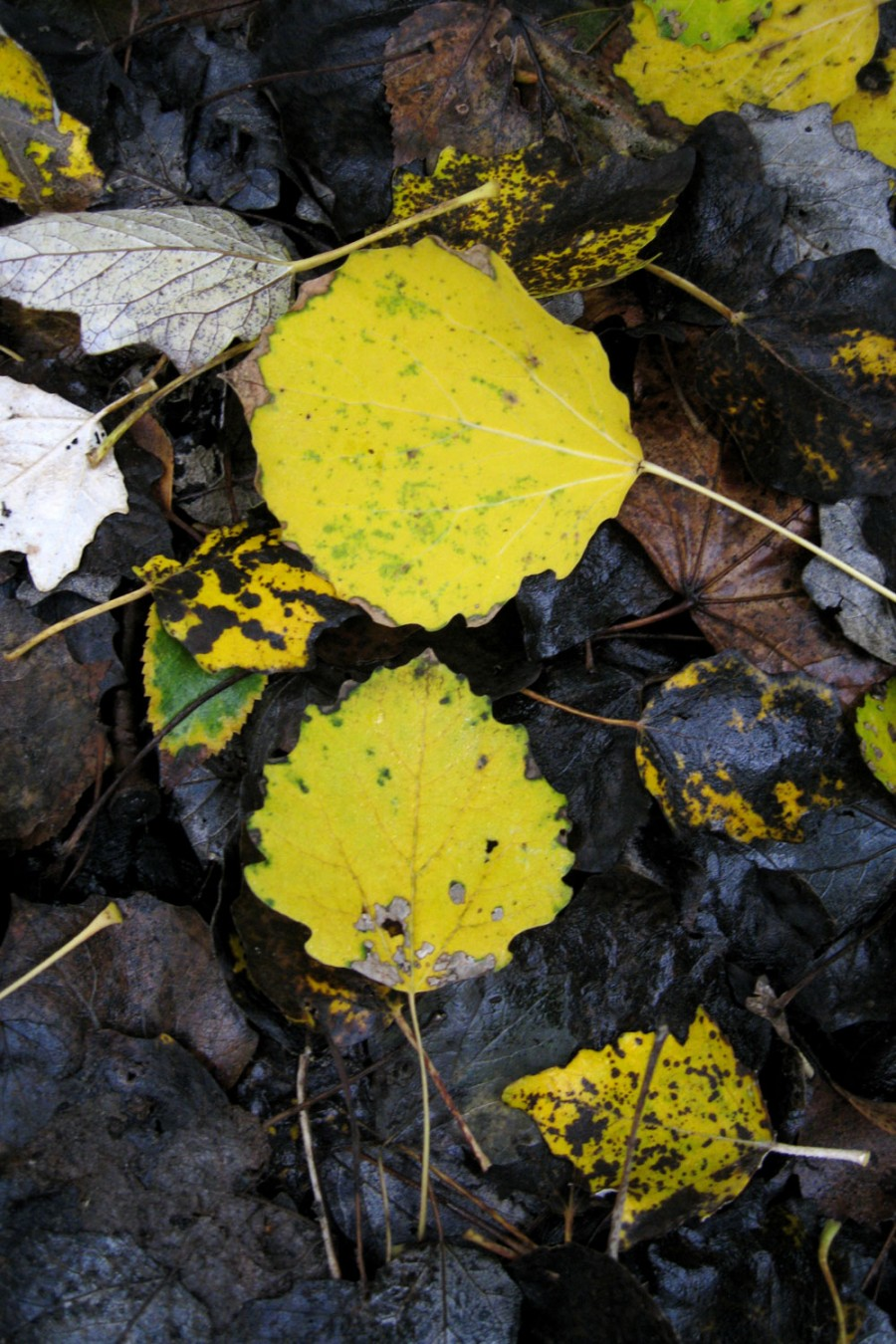 Fallen leaves of a lime tree.