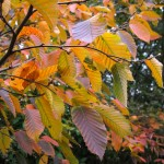Beautiful autumnal foliage of a hornbeam.