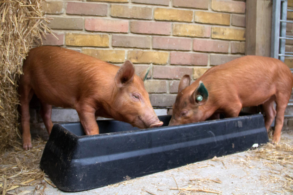 Hungry hungry piglets!
