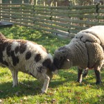 The rams can smell the pheromones to detect whether a ewe is receptive.