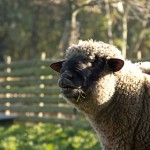 Curling the upper lip in this flehmen response allows the rams to detect pheromones that signal a ewe's receptiveness.
