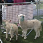 Lambs at Westfield