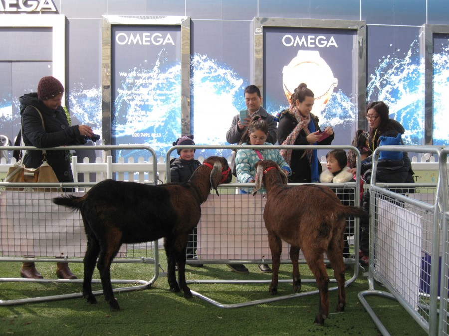 Our young Anglo Nubian goats greeting young visitors