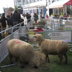 Oxford Ewes in Westfield