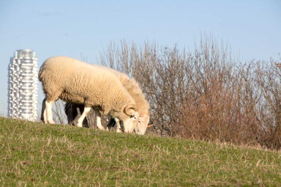 whitefaced-ram-7950