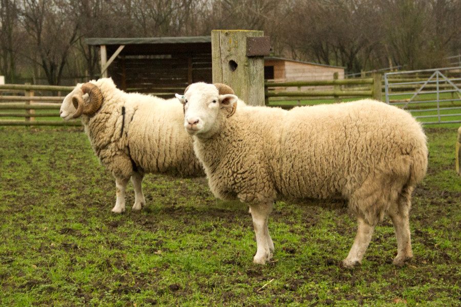 Both male and female Whitefaced Woodland sheep have horns, but those of the ewe (on the right) are far less ornate than those of the ram.
