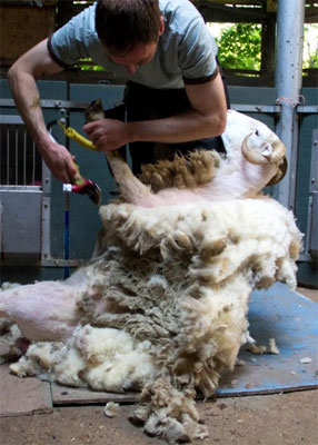 Mudchute Raw Fleeces